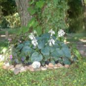 blue green hosta at base of tree