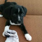 black and white puppy with sock