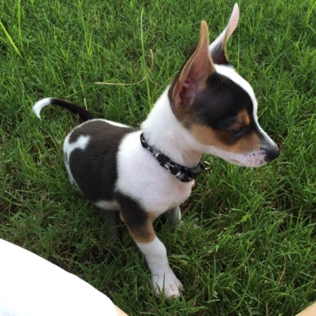 tricolored puppy with large stand up ears