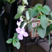 training plant with light purple/pink flowers