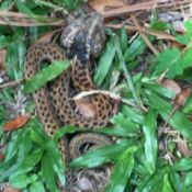 spotted snake on ground