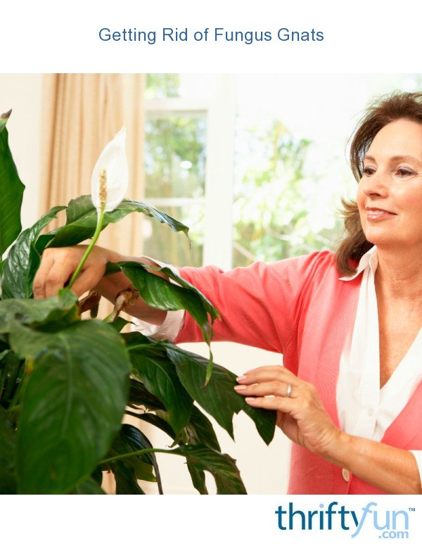 how to get rid of gnats in my house plants