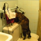cat standing on toilet seat