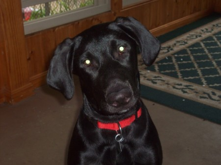 black Lab with red collar