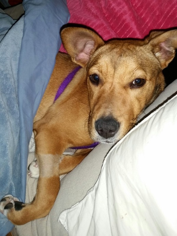 Hestia (Lab/Terrier/German Shepherd Mix) | ThriftyFun