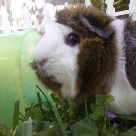 brown and white pig