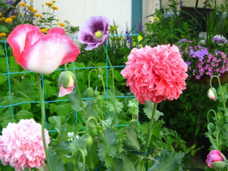 poppies in pink, white, and purple