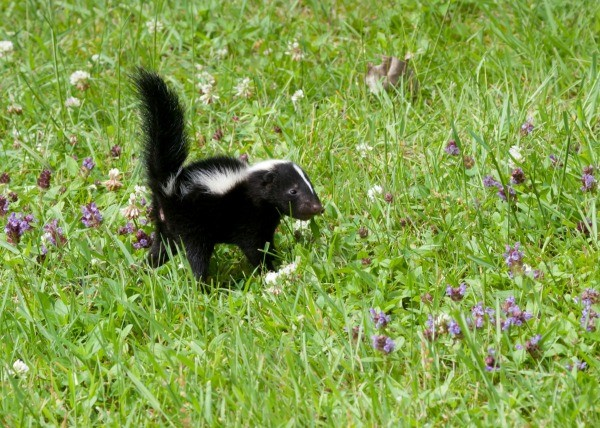 baby skunk and wildflowers