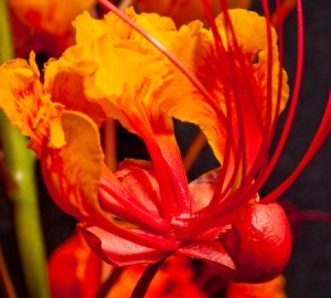 bright red, orange, and yellow flower