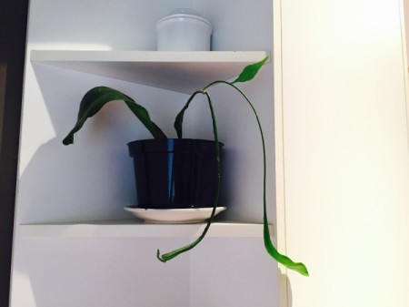 long leaved houseplant