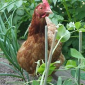 A chicken in a vegetable garden