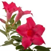 Red Flower Mandevilla