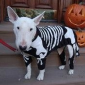 Bull Terrier in skeleton costume