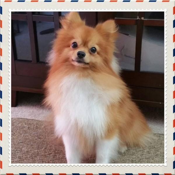 Chihuahua/Pomeranian Mix Breed Photos   ThriftyFun