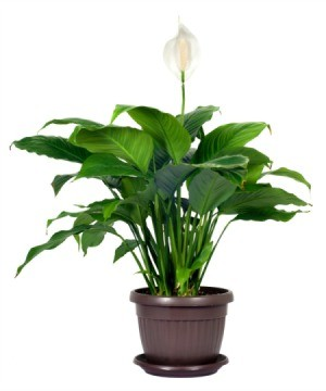 Peace Lily With Brown Leaves