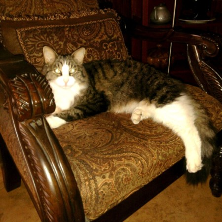 tabby cat on chair