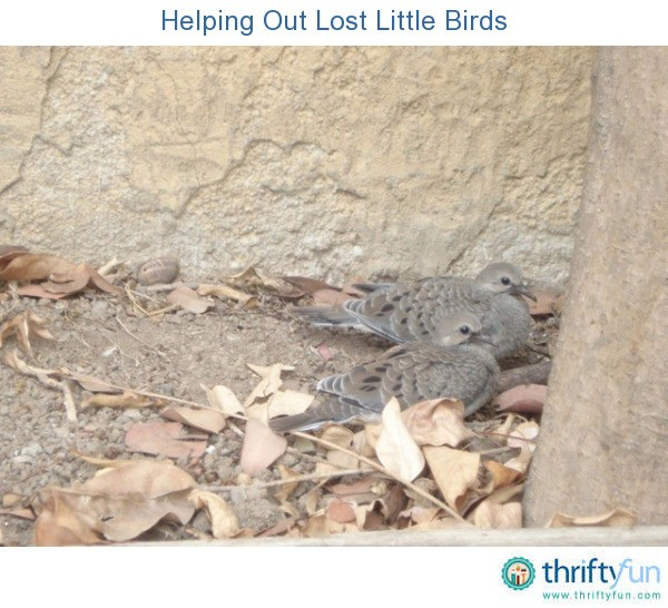 Helping Out Lost Little Birds Thriftyfun