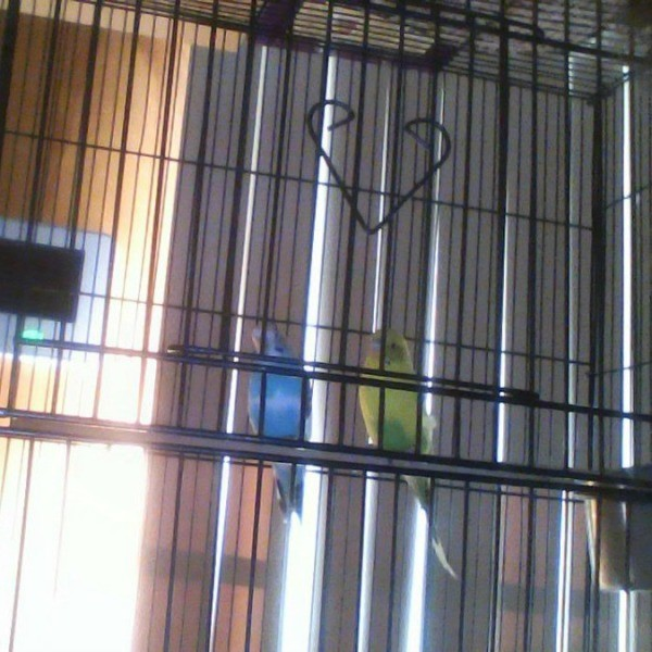 blue and green budgies in a cage