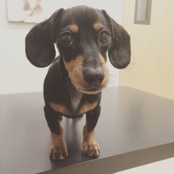 Mini Dachshund Disobedient During Potty Break