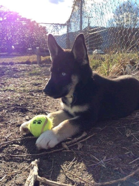 Sampson 2 (Husky/German Shepherd Mix)