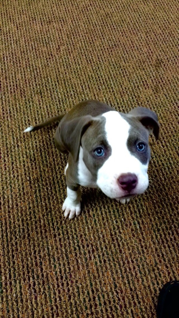 American pit bull terrier information and photos thriftyfun
