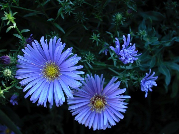 growing asters  thriftyfun, Natural flower