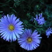 deep blue aster flowers