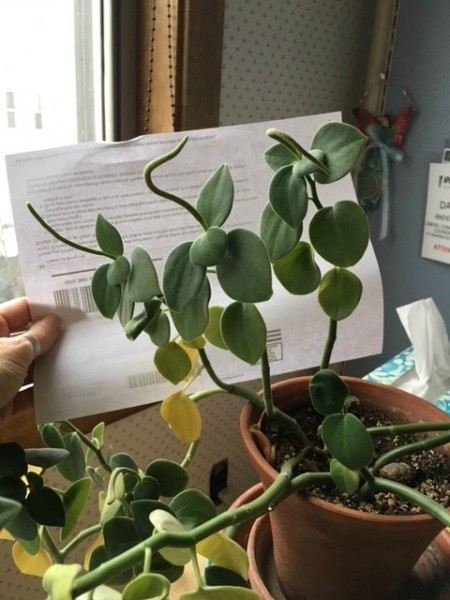 thick stemmed grayish green plant