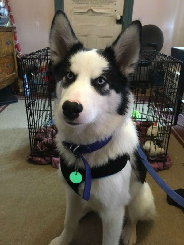 Siberian Husky Breed Information And Photos Thriftyfun