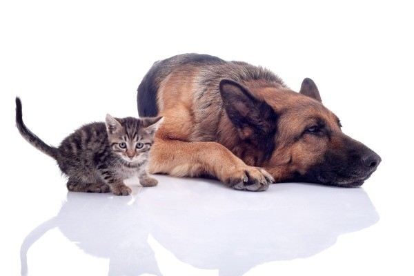 kitten next to German Shepherd