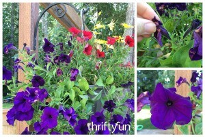Deadheading a Flower Basket