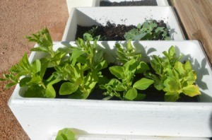 Selecting the Right Sized Containers for Growing Vegetables