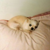 A Plea For The Animals - Chihuahua on a bed