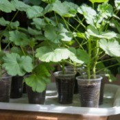 Growing Geranium From Seeds