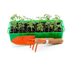 A photo of seedlings in a germinating tray with garden tools.