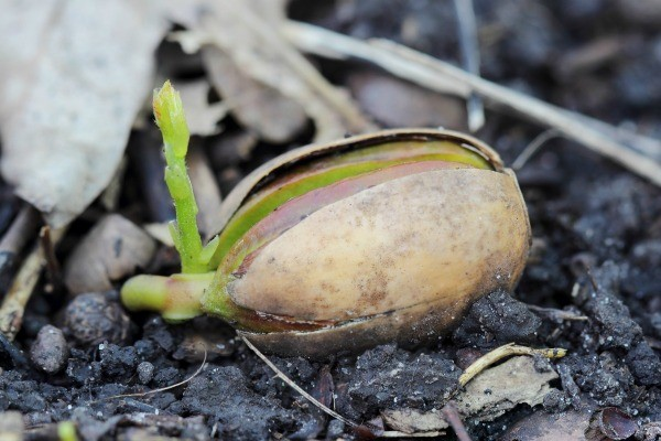 Growing oak trees from acorns thriftyfun for How to preserve acorns