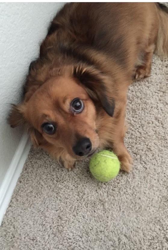 Evildoers BEWARE! | The Dogs of San Francisco |Long Chihuahua Dachshund Pomeranian Mix