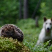 Woods scene with porcupine focused in the foreground and interested white dog out of focus in the back ground.