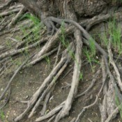 Exposed willow tree roots against dirt with a few green weeds