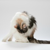Long haired calico cat seated and grooming it's side against a white background.