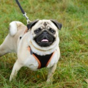 Buff colored pug with a harness leash combo in a field of grass