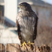 hawk on fence