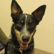 Tobey (Australian Cattle Dog/Border Collie)