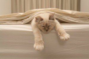 White cat laying on white bed. Lower body is under covers, front legs are straight and hanging off the bed