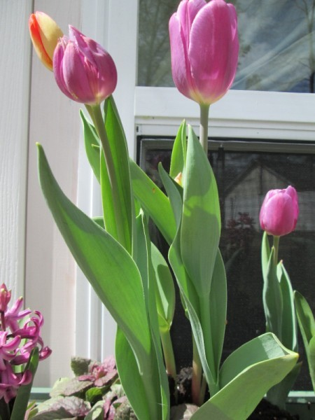 tulip buds against window background