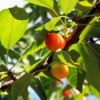 Growing Rainier Cherries