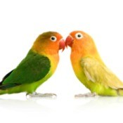 Two peach face love birds standing beak to beak. One is more green in color the other more yellow.