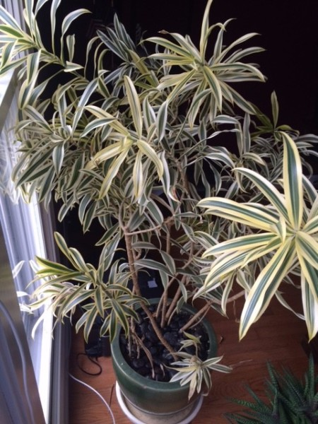 muti stemmed plant with long cream colored leaves with darker green middle