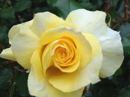 pretty yellow rose with darker center