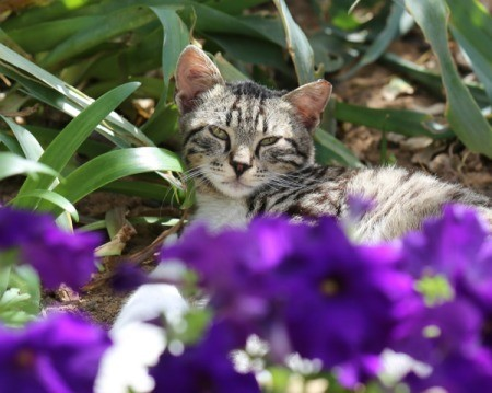 Grey tabby cat laying in outdoor flower bed.